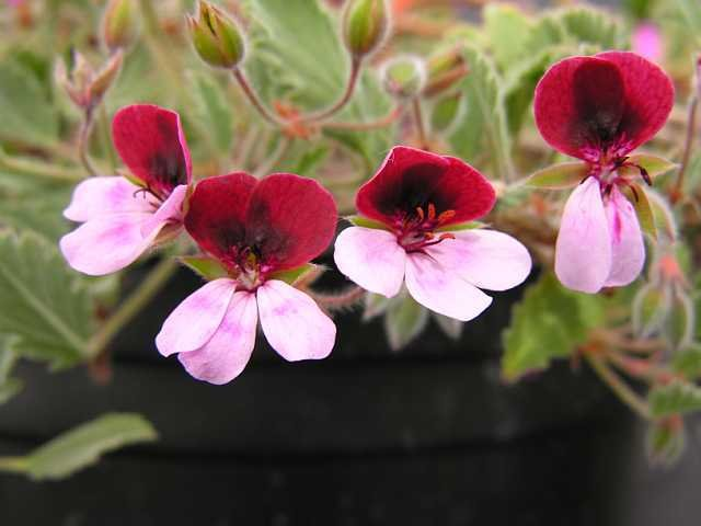 Pelargonium-Renate-Parsley-1