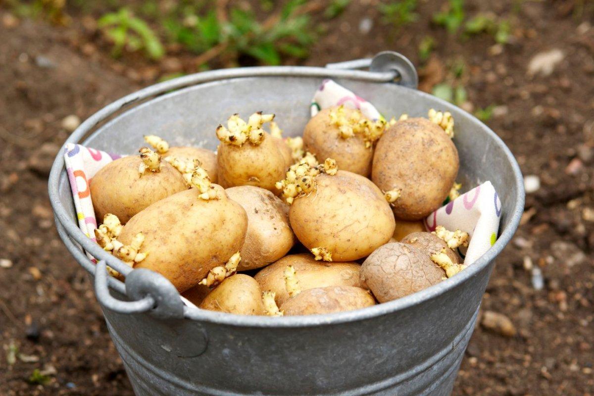 Обработка картофеля перед посадкой — Все о картофеле