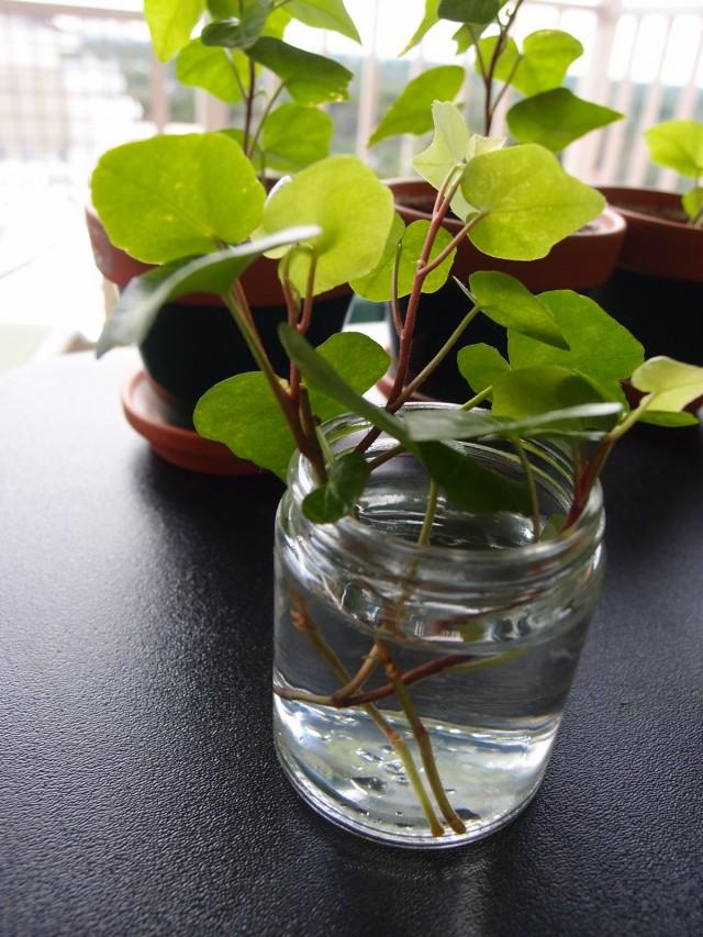 Укоренение черенков плюща в воде