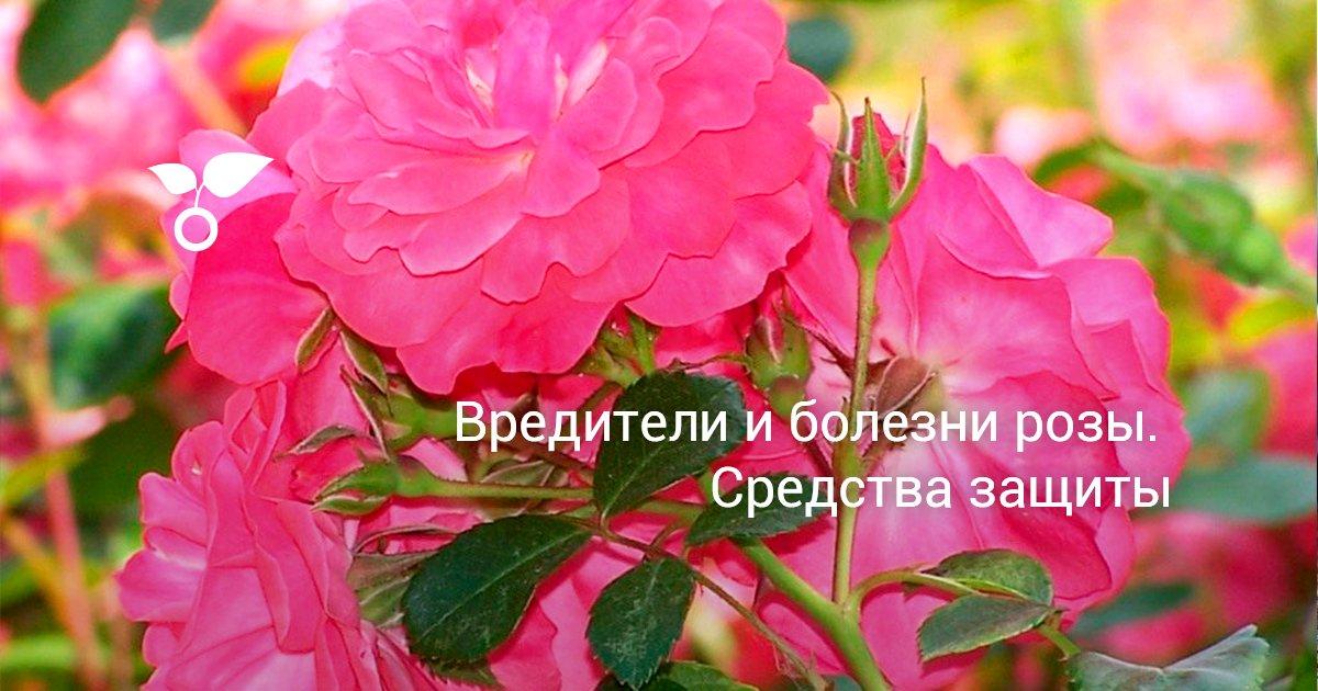 Болезни роз описание с фото, профилактика, лечение