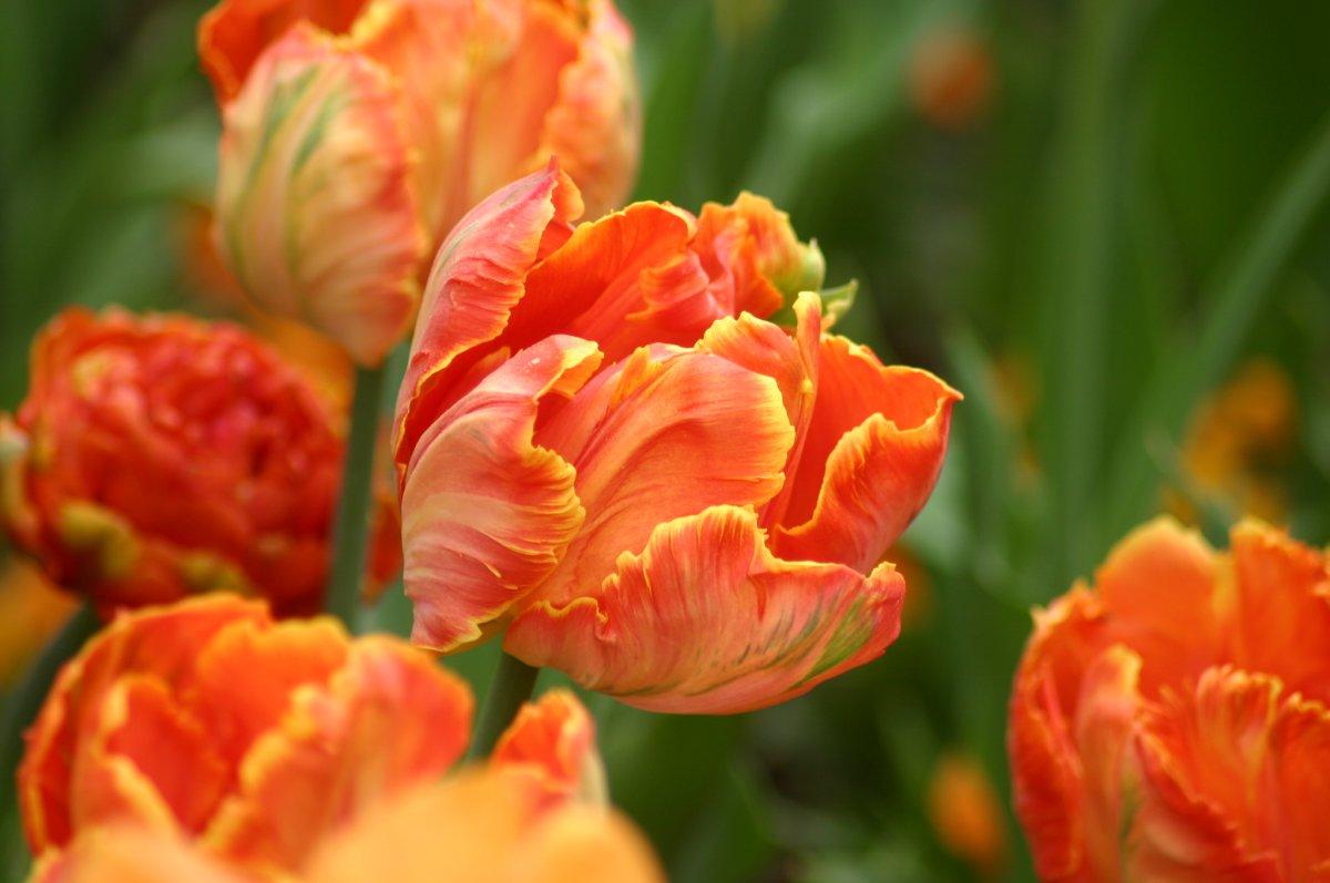 Tulipa-Professor-Rontgen-1