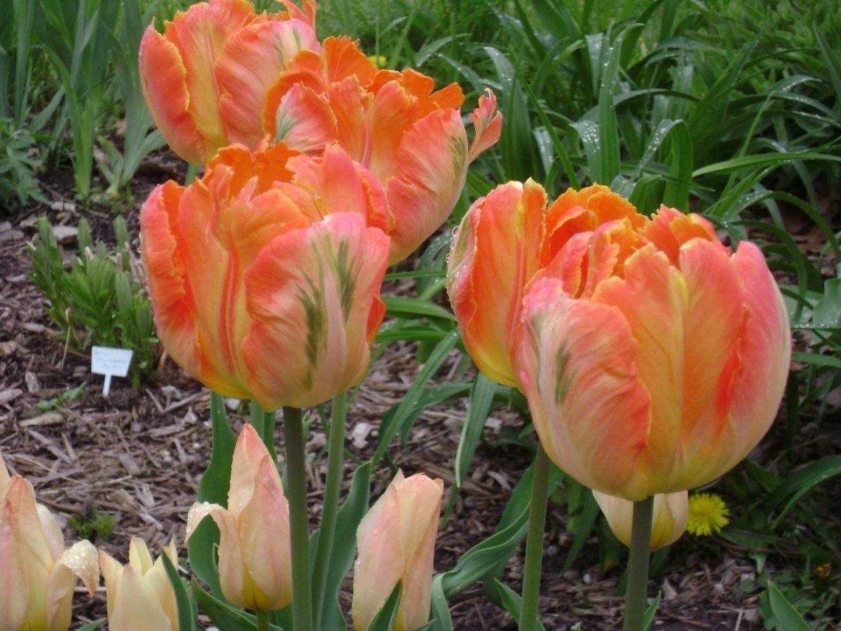 Tulipa-Professor-Rontgen-2