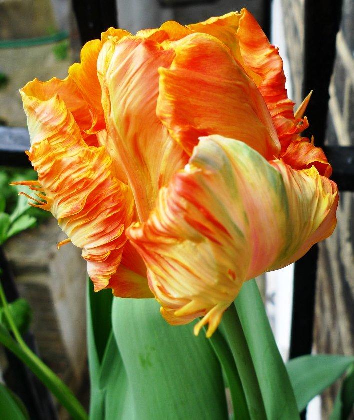 Tulipa-Professor-Rontgen-3