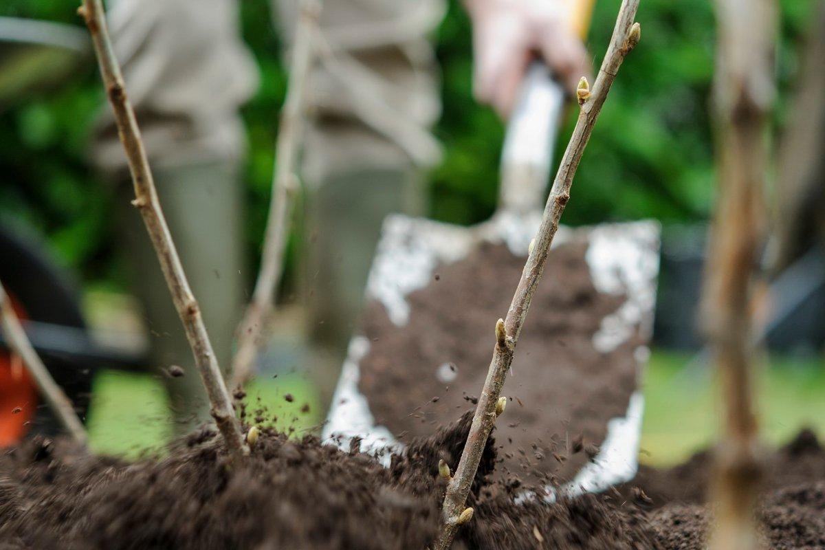 Уход за смородиной весной – борьба с вредителями, подкормка