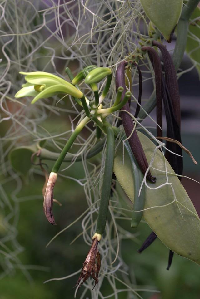 Орхидея ваниль (Vanilla): цветок, зелёные и подсохшие стручки
