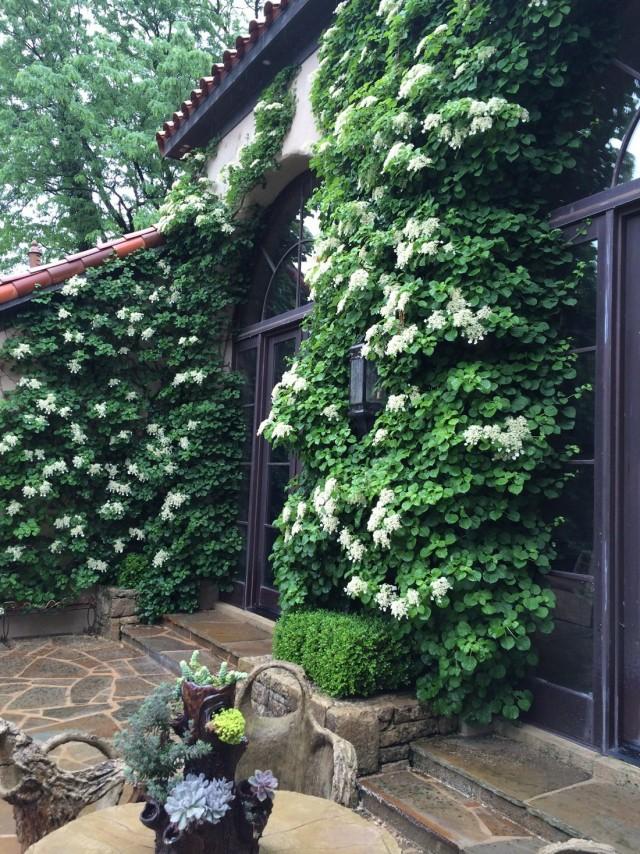 Стена дома, оформленная вьющейся гортензией черешковой