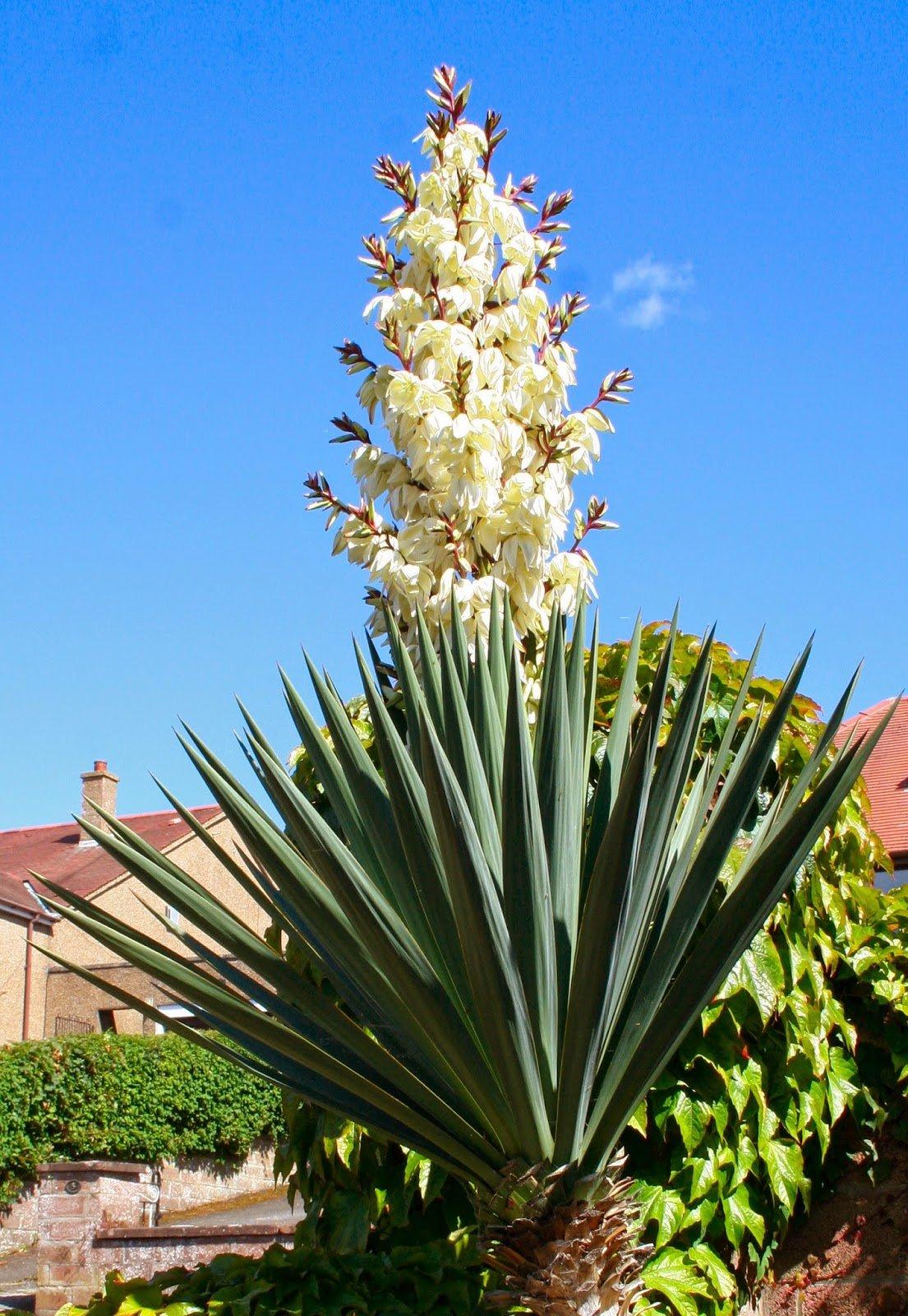 Юкка цветок разновидность фото