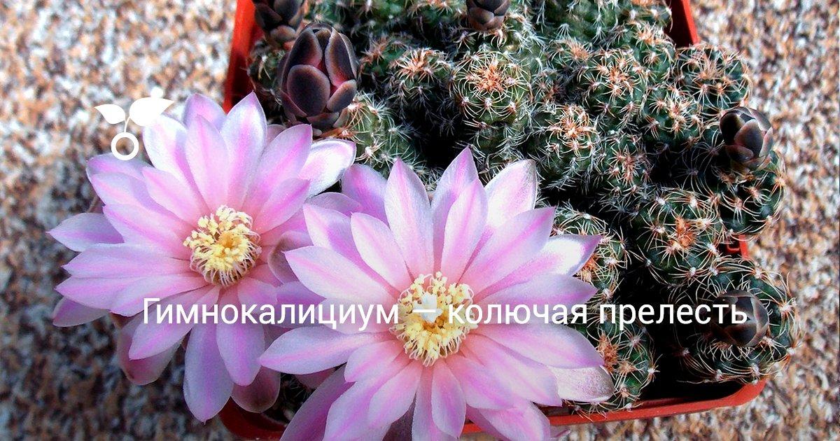Кактус гимнокалициум уход и разновидности