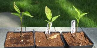 Скрученные листья на рассаде перца