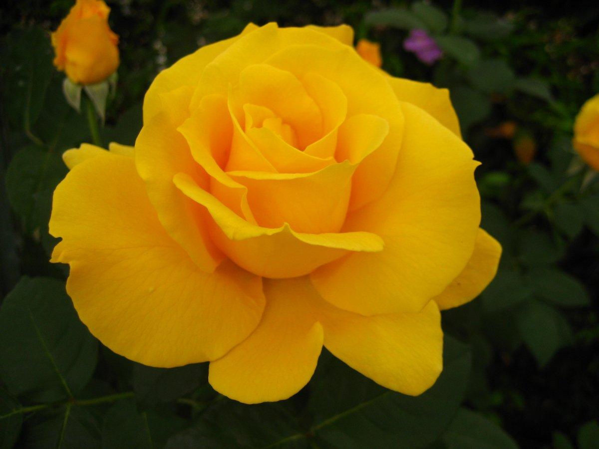 Цветок роза фото описание