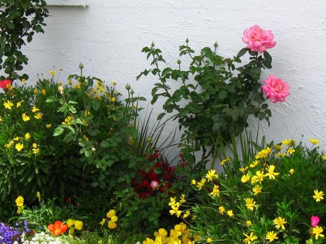 Чайно-гибридная роза в цветнике