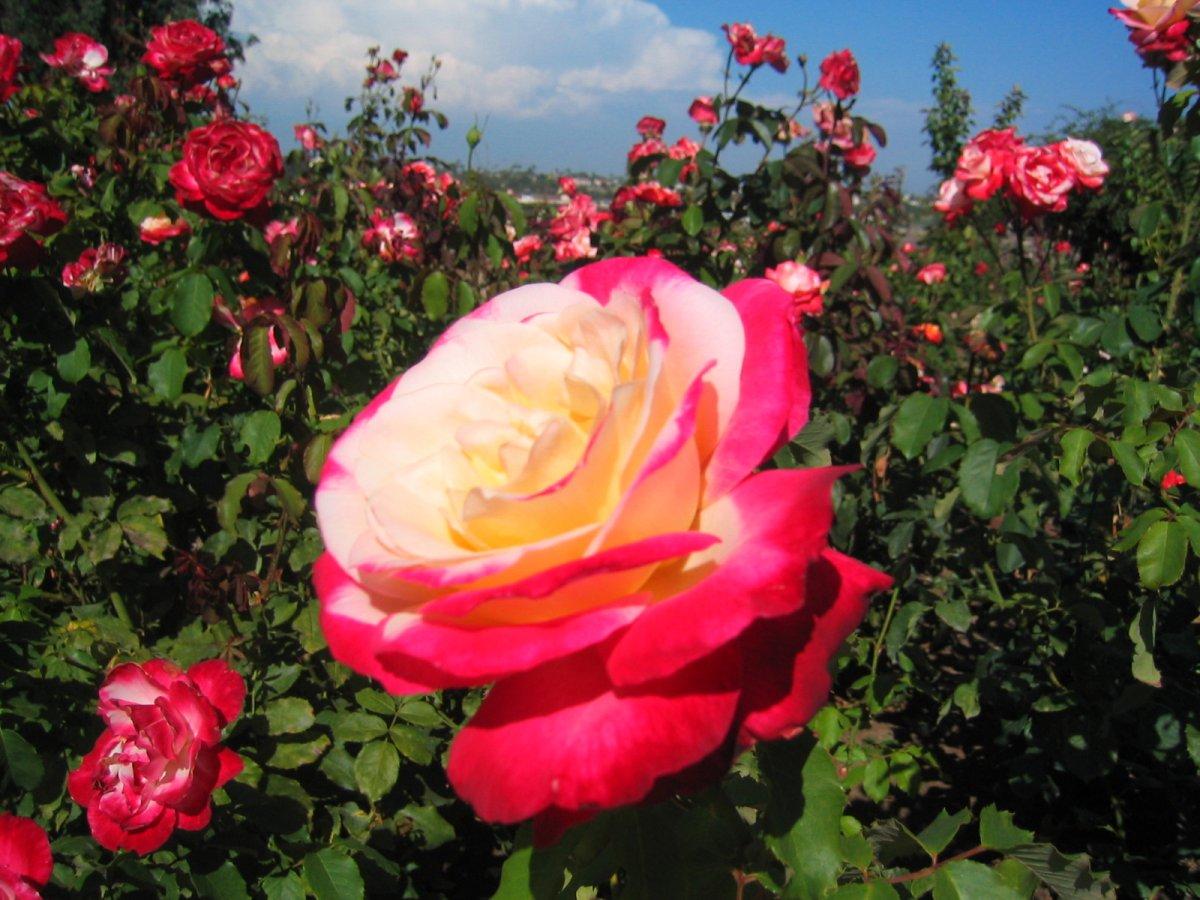 Чайно-гибридные розы: от посадки до цветения