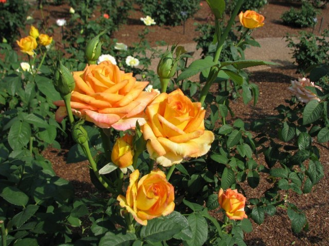 "Чайно-гибридная роза, сорт ""Gold Medal"""