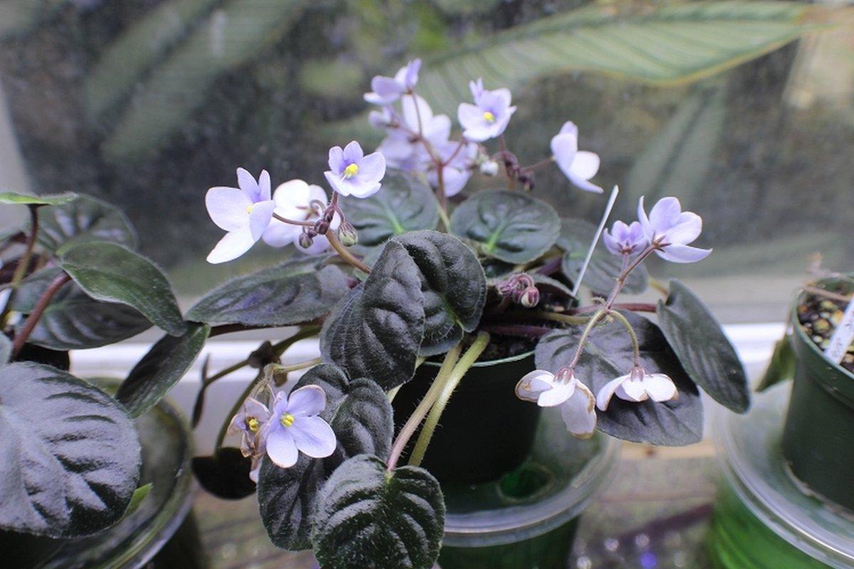 Коричневые пятна на цветах фиалок