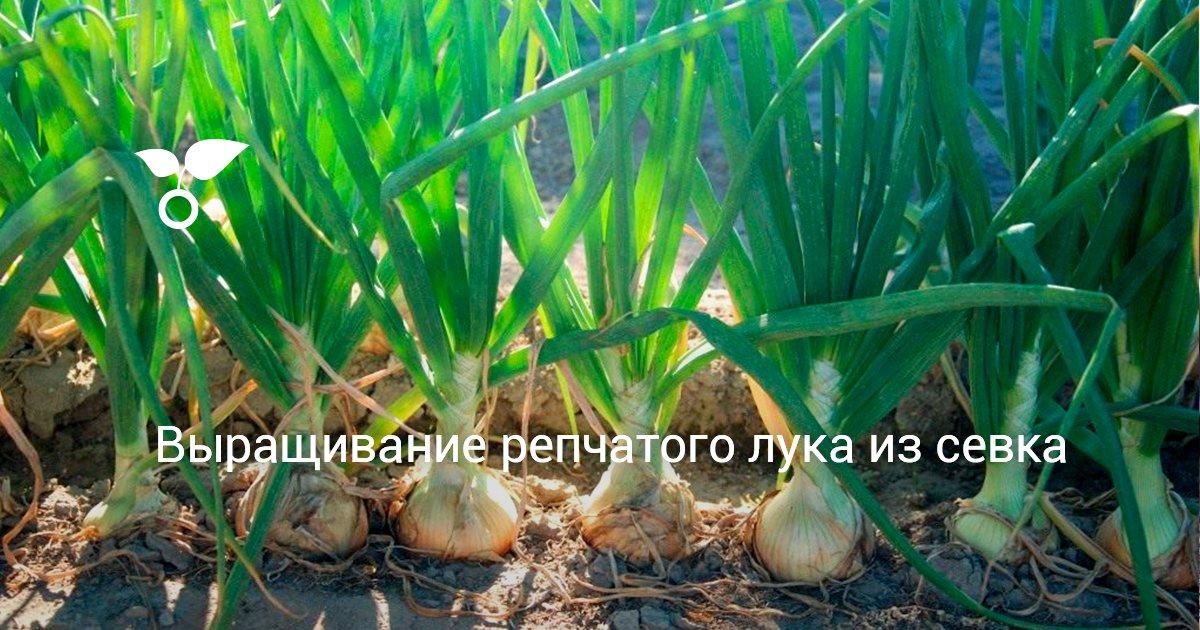 Как выращивать лук