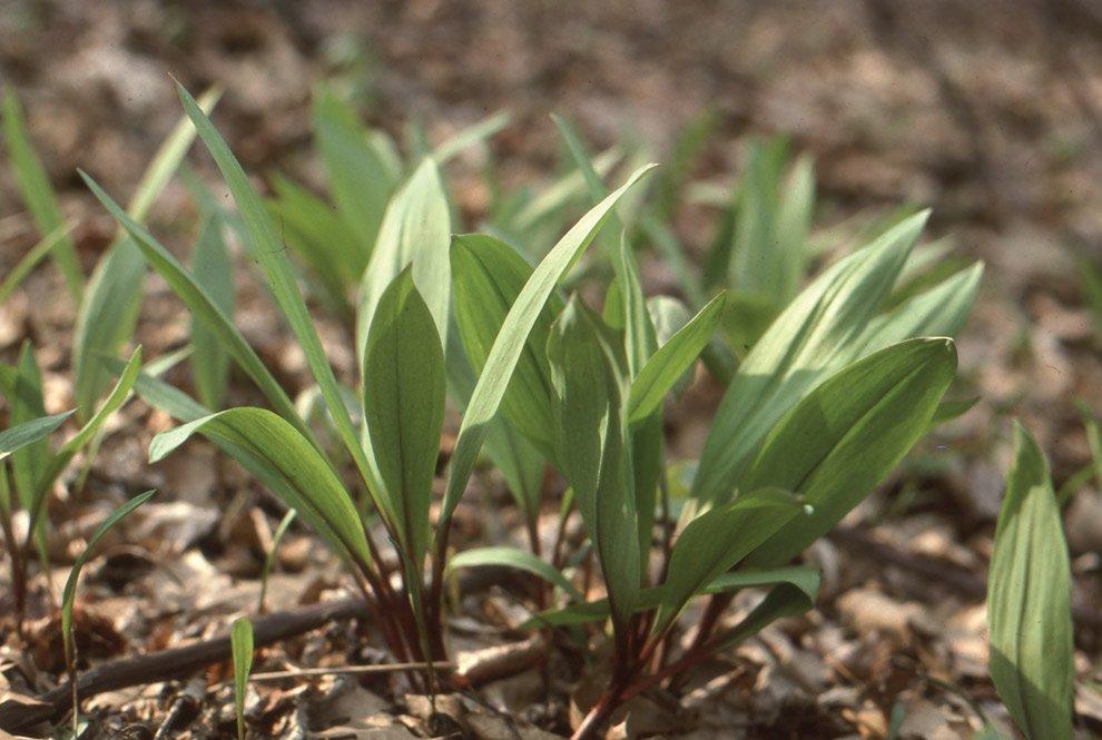 Allium-tricoccum