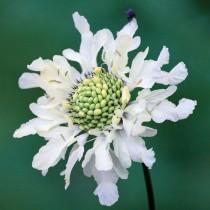 Цефалярия альпийская (Cephalaria alpina)