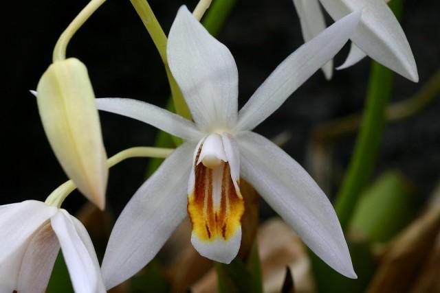 Цветок целогины