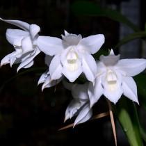 Целогина Мура (Coelogyne mooreana)