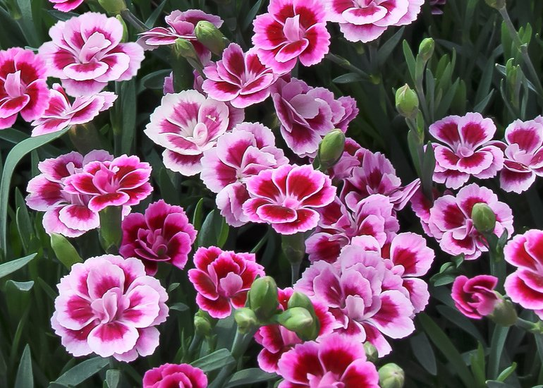 Dianthus-Pink-Kisses-1