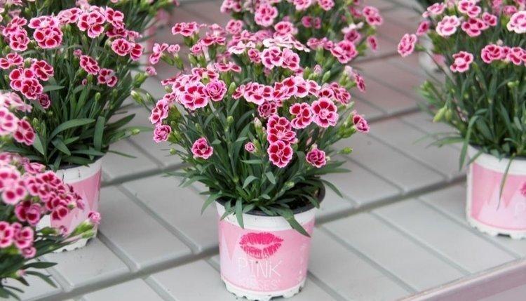 Dianthus-Pink-Kisses-3