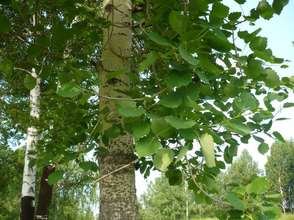 Populus-tremula