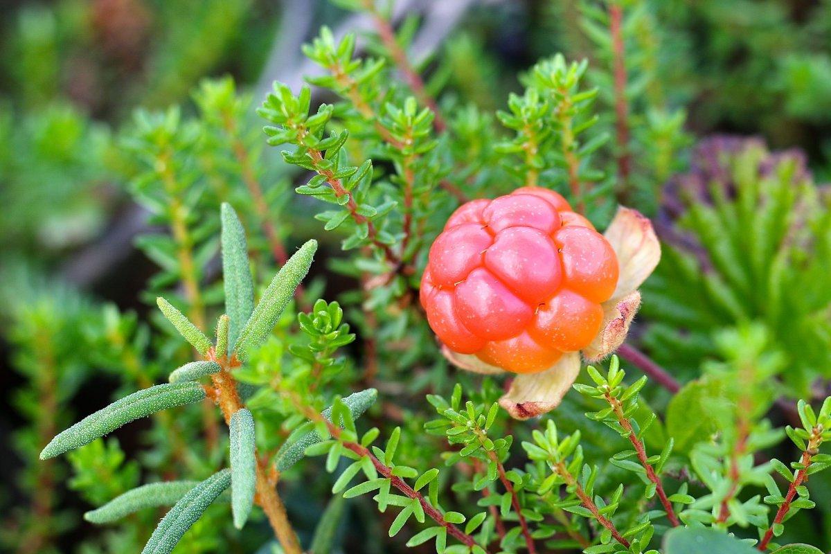 Rubus-chamaemorus
