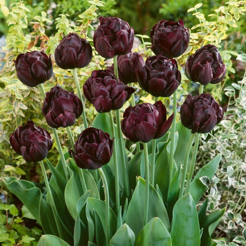 Tulipa-Black-Hero-1