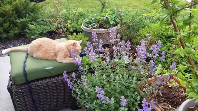 Котовник кошачий, или кошачья мята