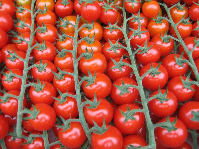 Урожай томатов черри на ветках