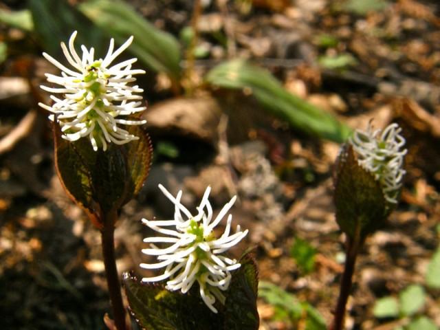 Хлорантусы-травянистые многолетники в естественной среде обитания