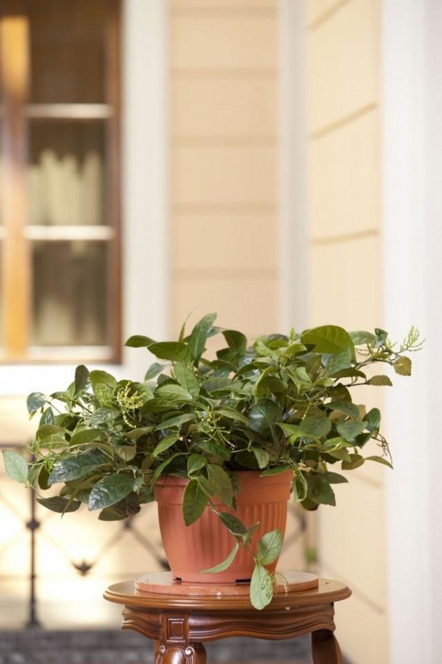 Хлорантус в интерьере