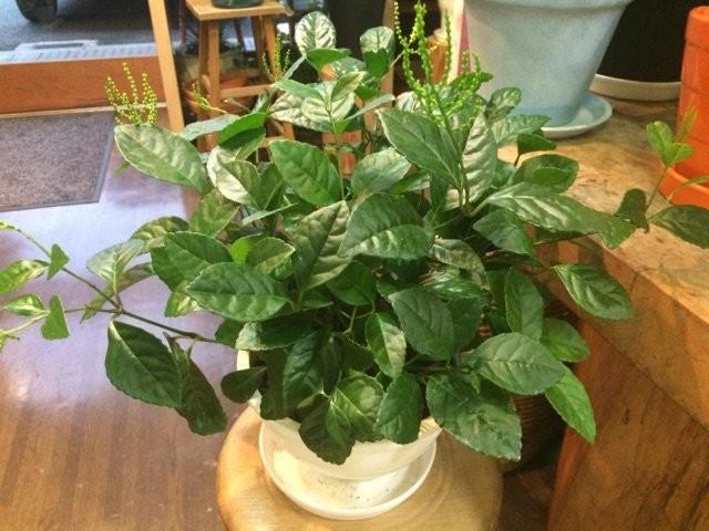 Хлорант колосистый (Chloranthus spicatus)