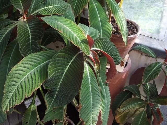 Гофмания Гисбрехта (Hoffmannia ghisbreghtii)