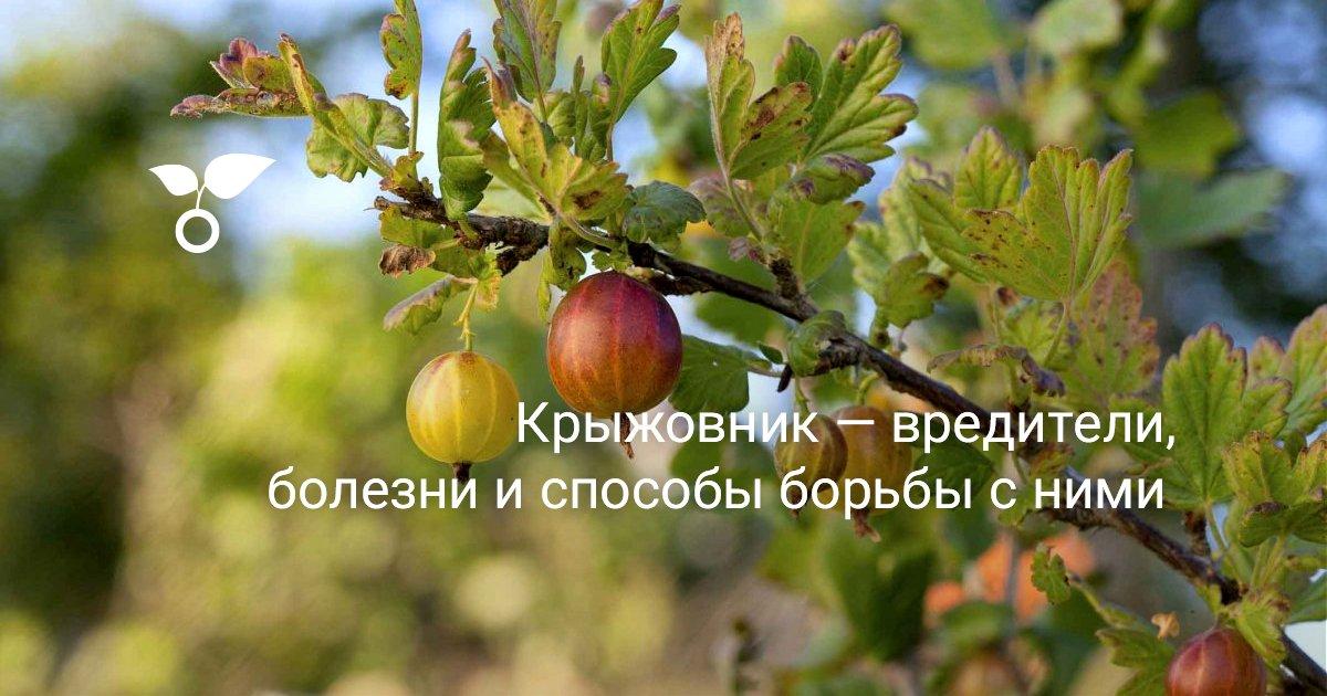 Чем и как обрабатывать крыжовник весной от болезней и вредителей: кипятком и другими средствами