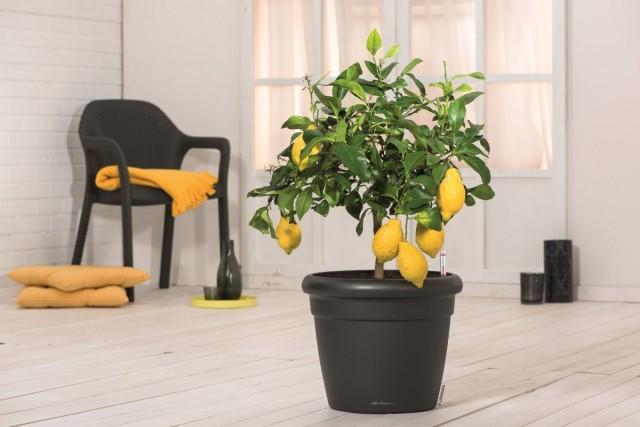 На фото Лимон в кашпо с автополивом RUSTICO Color от LECHUZA. Приобрести кашпо в единственном официальном интернет-магазине бренда: lechuza.ru