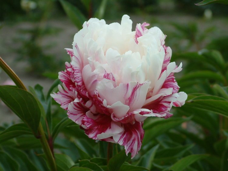 paeonia-candy-stripe-1