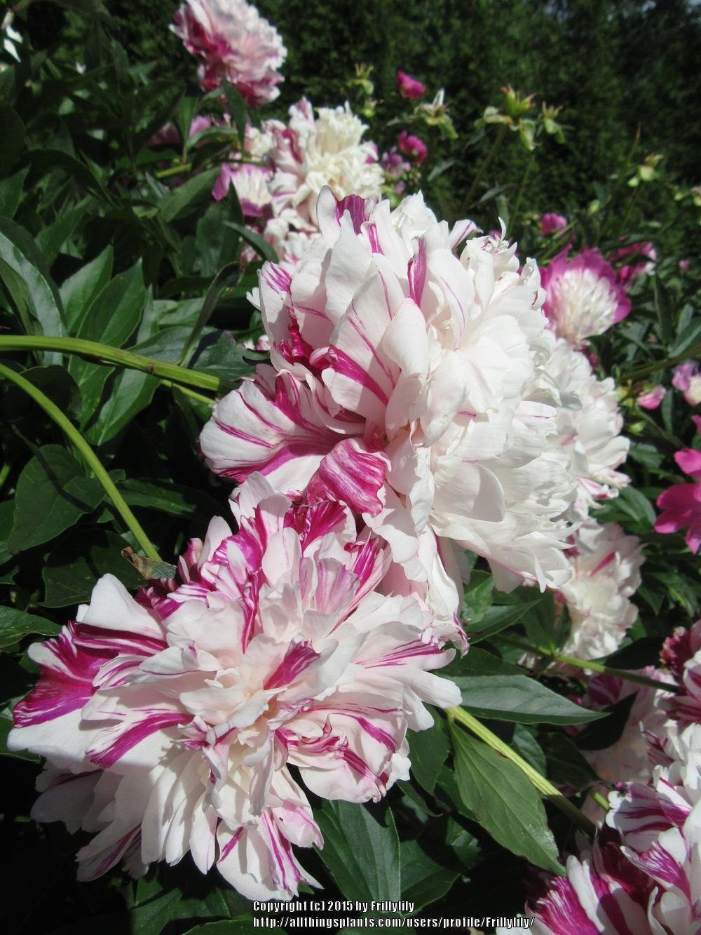 paeonia-candy-stripe-3