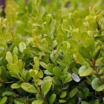 Самшит мелколистный (Buxus microphylla)