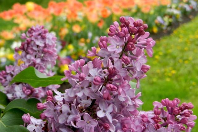 Цветы сирени