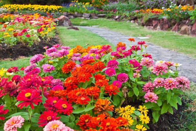 Циннии в саду