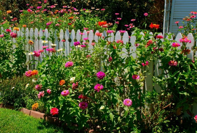 Циннии - идеальные цветы для сада пейзажного (природного) стиля