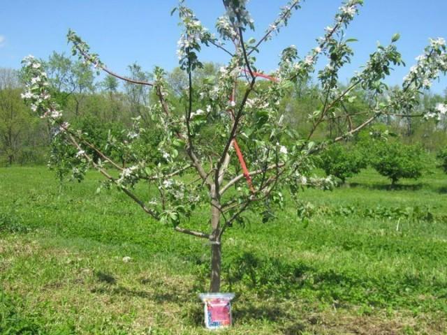 Трехлетнее деревце яблони. Цветет, но не плодоносит