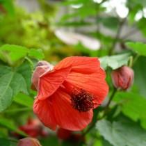 Гибридный абутилон (Abutilon x hybridum)