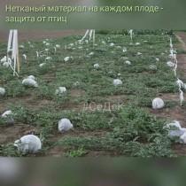 Защита плодов арбуза от птиц нетканым материалом
