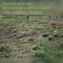 Урожай арбузов в открытом грунте