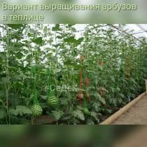 Выращивание арбуза в теплице