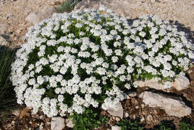 Иберис вечнозеленый (Iberis sempervirens)
