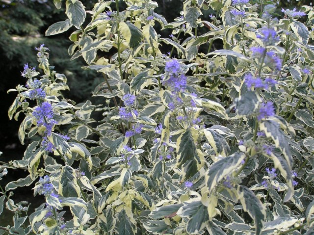 Кариоптерис (Caryopteris «White Surprise»)