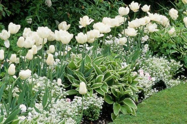 Растения на «белом» цветнике должны поддерживаться в идеальном состоянии